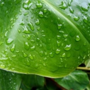 Глянец на листьях растений